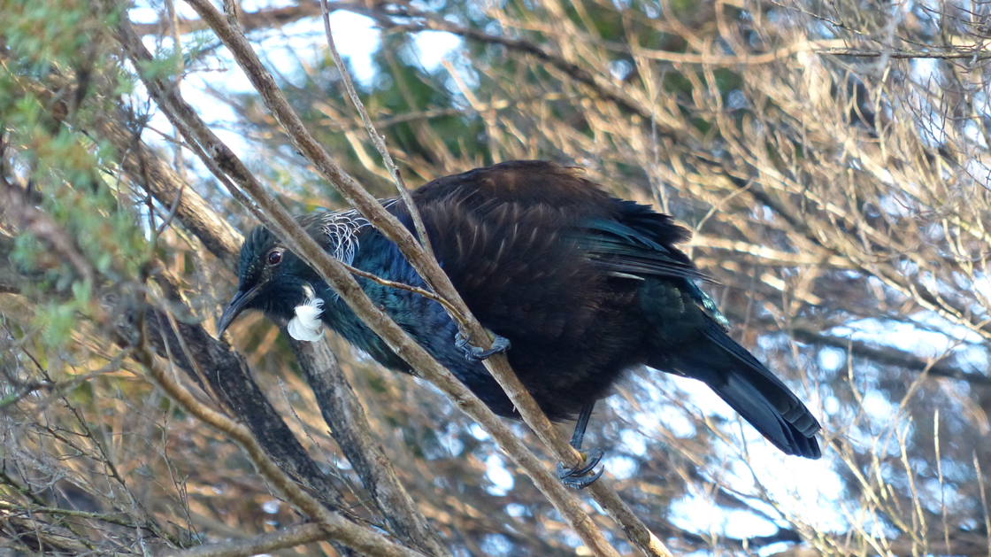 057_Confused Tui bird_resize